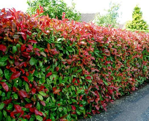 large-Photinia fras. Red Robin 4060