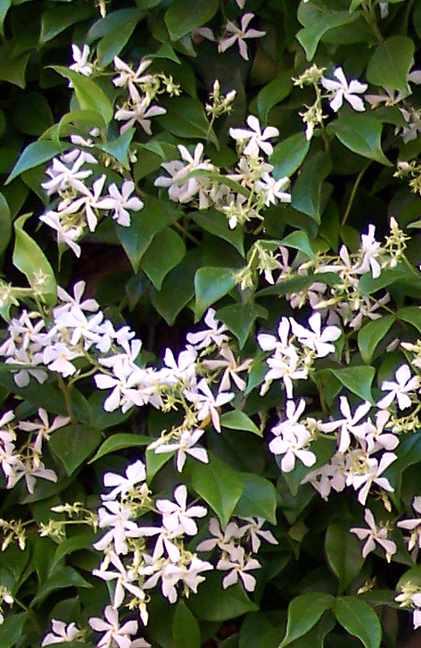 trachelospermum_jasminoides_2
